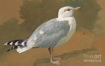 Gull Seagull Painting - Gull by Archibald Thorburn