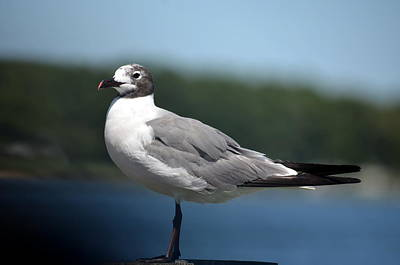Photograph - Gull At Rest by Cathy Shiflett