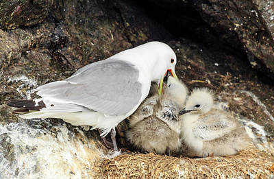 Photograph - Gull Chicks Being Fed by Joni Eskridge