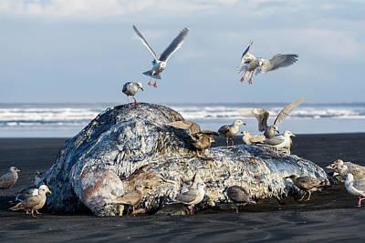 Photograph - Gull Feast by Robert Potts