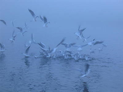 Photograph - Gull Feeding Frenzy by Rob Hemphill