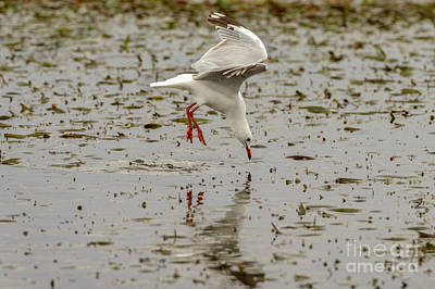 Photograph - Gull Fishing 01 by Werner Padarin
