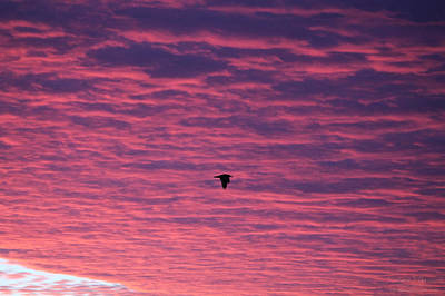 Photograph - Gull Flies Under Purple Clouds by Robert Banach