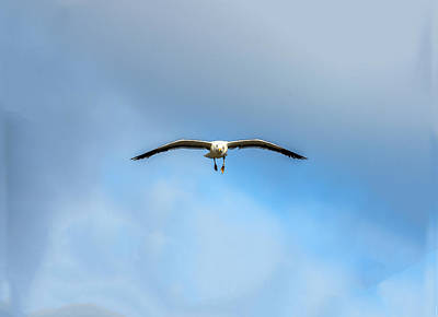 Photograph - Gull Flying Straight At You by William Bitman