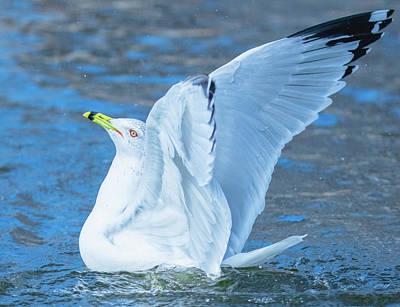Photograph - Gull Glory Profile by Jeff at JSJ Photography