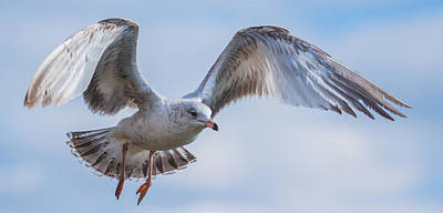 Photograph - Gull Hover In Gray by Jeff at JSJ Photography