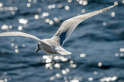 Wall Art - Photograph - Gull In Flight 2 by Adrian O Brien