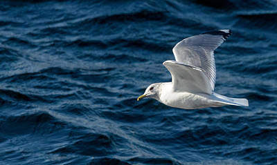 Wall Art - Photograph - Gull In Flight by Adrian O Brien