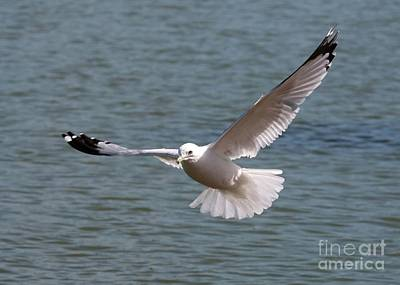 State Love Nancy Ingersoll Rights Managed Images - Gull in Flight Royalty-Free Image by Carol Groenen
