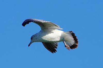 Fort Pierce Marina Photograph - Gull In Flight by Don Youngclaus