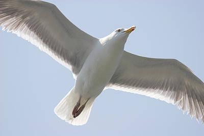 Photograph - Gull In Flight by Jill Lang