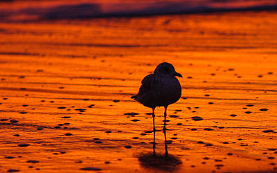 Gull Caught At Sunrise Art Print