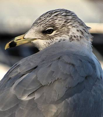 Photograph - Gull by Jennifer Wheatley Wolf