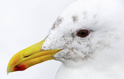 Photograph - Gull Portrait by Sue Harper