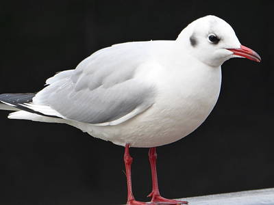 Photograph - Gull Profile by Margaret Brooks