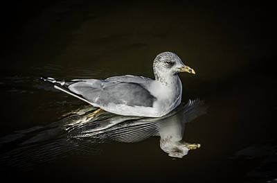 Photograph - Gull Reflecting by Ray Congrove