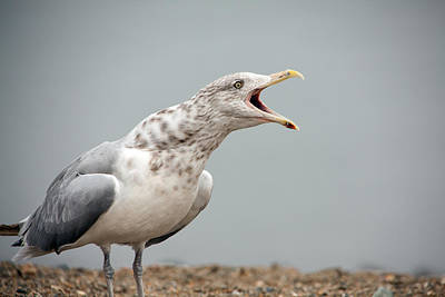 Photograph - Gull Singer by Karol Livote