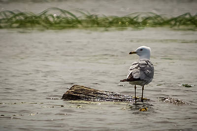 Photograph - Gull Standing On Floating Log by Patti Deters