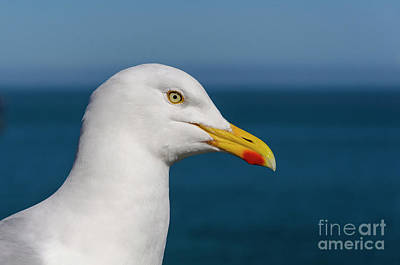 Photograph - Gull by Steev Stamford