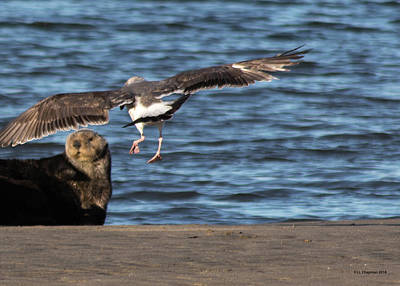Photograph - Gull With Sea Otter Photobomb by Lora Lee Chapman