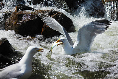 Photograph - Gulls And Alewives by John Meader