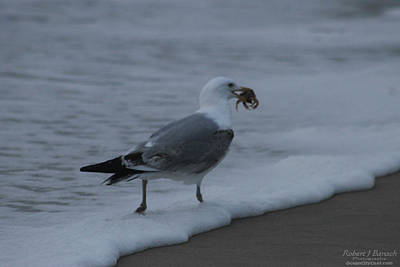Photograph - Gull's Breakfast by Robert Banach