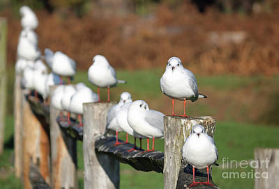 Photograph - Gulls On A Fence by Julia Gavin