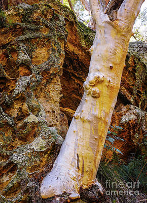 Photograph - Gum Tree And Rocks by Lexa Harpell