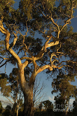 Photograph - Gum Tree At Sunset by Werner Padarin