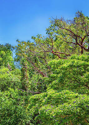 Photograph - Gumbo Limbo Trees by John M Bailey