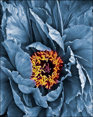 Photograph - Gunmetal Peony by Chris Lord