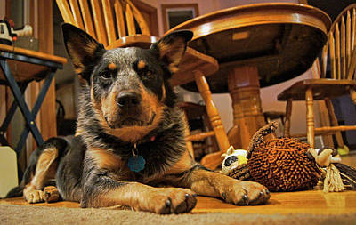Photograph - Gunner The Blue Heeler by Cricket Hackmann
