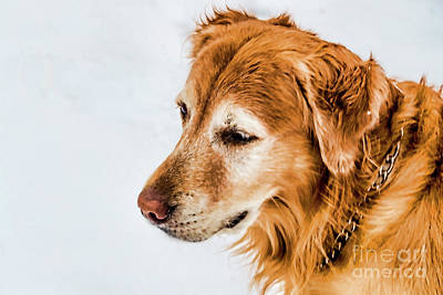 Photograph - Gus In Snow 1391t2 by Doug Berry