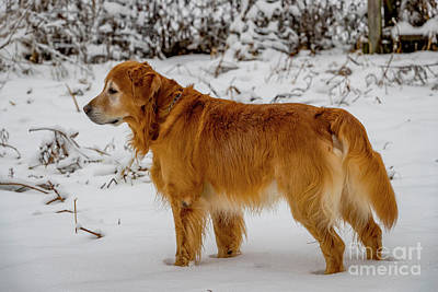 Photograph - Gus In The Snow 1331 by Doug Berry