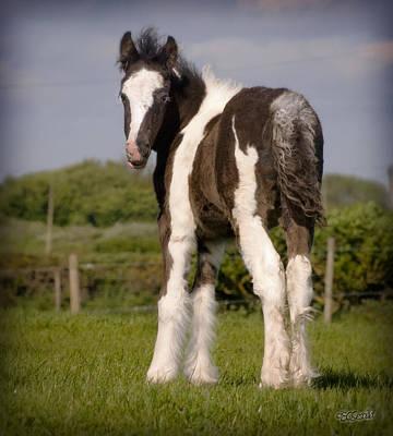 Gypsy Horse Foal Art Print by Elizabeth Sescilla