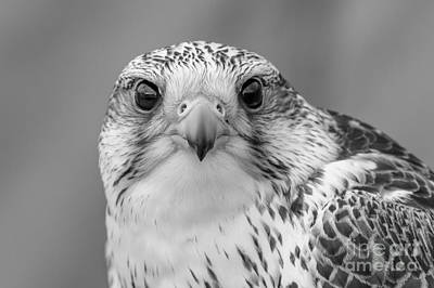 Gyr Falcon Portrait In Black And White Art Print
