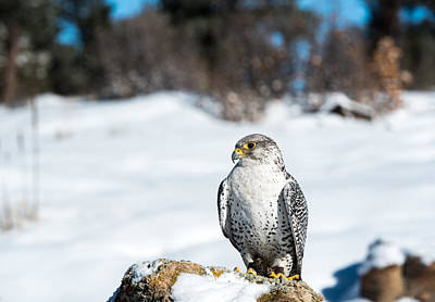 Photograph - Gyrfalcon by Art Atkins
