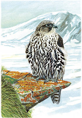 Gyrfalcon Painting - Gyrfalcon by Dag Peterson