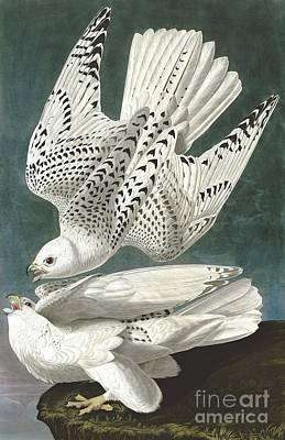Gyrfalcon Painting - Gyrfalcon by Pg Reproductions