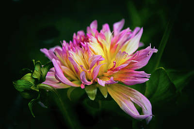Photograph - Dahlia Delight by Jessica Jenney