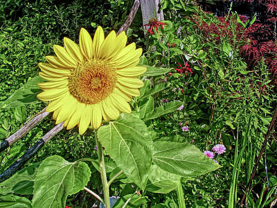Photograph - H D R Garden Sunflower by Aimee L Maher Photography and Art Visit ALMGallerydotcom