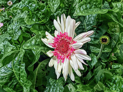 Photograph - H D R Gerbera Daisy And Bud by Aimee L Maher ALM GALLERY
