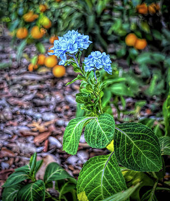 Photograph - H D R Hydrangea And Oranges by Aimee L Maher Photography and Art Visit ALMGallerydotcom