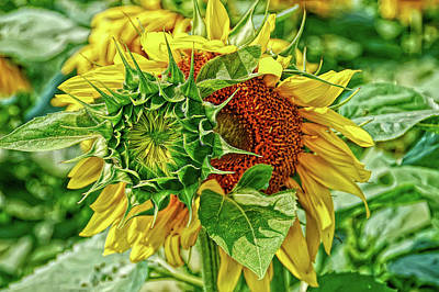 Photograph - H D R Joyous Sunflower by Aimee L Maher Photography and Art Visit ALMGallerydotcom