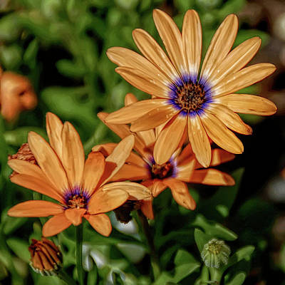 Photograph - H D R Orange Daisy by Aimee L Maher Photography and Art Visit ALMGallerydotcom