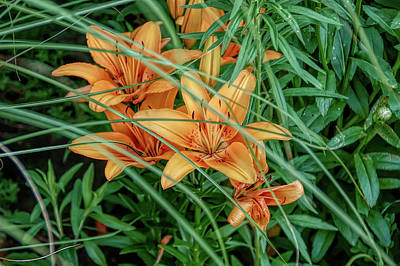 Photograph - H D R Orange Tiger Lilies by Aimee L Maher ALM GALLERY