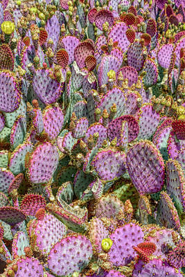 Photograph - H D R Purple Prickly Pear 3 by Aimee L Maher ALM GALLERY