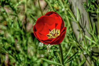 Landscape Photograph - H D R Red Tulip by Aimee L Maher Photography and Art Visit ALMGallerydotcom