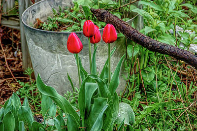 Photograph - H D R Red Tulips by Aimee L Maher Photography and Art Visit ALMGallerydotcom