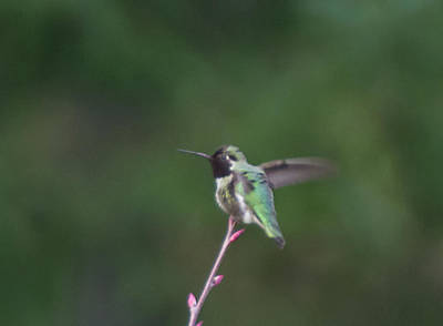 Photograph - Hovering Hummingbird by Marilyn Wilson